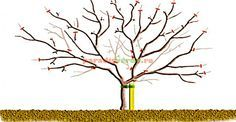 Apples and pears: winter pruning/RHS Gardening - pruning diagram for a mature spur bearing apple tree Prune Fruit, Pruning Fruit Trees, Tree Pruning, Herb Garden, Vegetable Garden, Plum Tree, Pear Trees, Garden Trees, Apple Tree