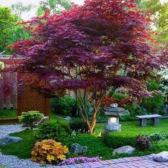 Japanese Maple Varieties, Japanese Maple Garden, Japenese Maple, Japanese Gardens, Japanese Maple Trees, Japanese Garden Backyard, Japanese Garden Landscape, Japanese Plants, Bloodgood Japanese Maple