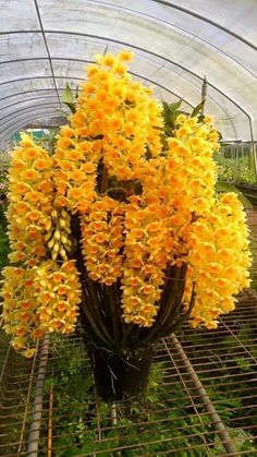 Orquídea Dembrobium.