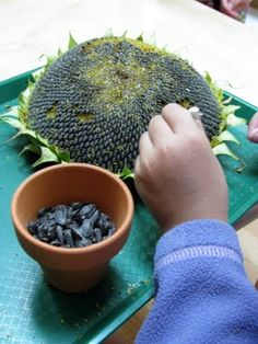 Fine motor activity (for indirect control of a pencil and a paint brush): Tweezing sunflower seeds