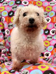 Meet Cream Cheese Danish, an adoptable Bichon Frise looking for a forever home. If you're looking for a new pet to adopt or want information on how to get involved with adoptable pets, Petfinder.com is a great resource.