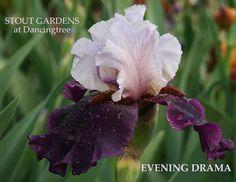 "(Paul Black 2004) TB iris, 36"" (91 cm), M. HM 2006. Flowers; S. icy blue white…"