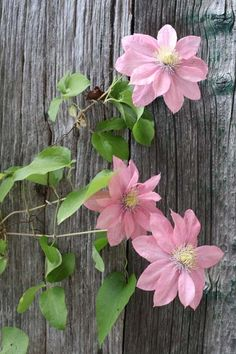 Pink clematis against a weathered fence