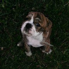 Bailey - Female born 5-11-2015. Brindle with white mask. Sold and going to Chillicothe, OH!