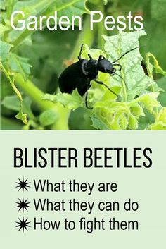 Blister beetles can cause great damage in the vegetable garden, and secrete a caustic chemical that causes blisters on human skin. Here's how to fight them organically. Slugs In Garden, Garden Insects, Garden Pests, Potager Garden, Herbs Garden, Fruit Garden, Organic Vegetables, Growing Vegetables, Gardening For Beginners