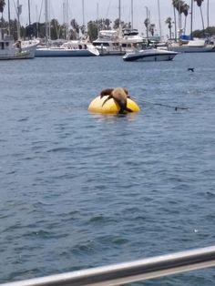 Seals @ Mission Bay Mission Bay, San Diego Beach, Seals, Harbor Seal, Seal
