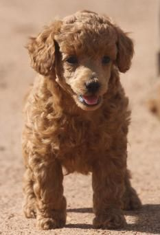Poodle Puppies for Sale, Red Poodle, Miniature poodles, Toy Poodles Red Poodle Puppy, Small Poodle, Poodle Puppies For Sale, Cute Puppies, Mini Poodles For Sale, Poodle Cuts, Red Poodles, Puppy Cut, Poodle Grooming