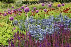 How to match bulbs and perennials that bloom in sequence and whose foliage height and scale are complementary. Shown: Late spring's 'Purple Sensation' allium wraps up its bloom just as sea holly (Eryngium planum) and purple Salvia nemorosa 'Caradonna' (foreground) come on for summer.