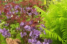 Culm View Nursery of Devon's terrific display included a mix of perennials and shrubs. Particularly appealing is maroon-leaved Acer palmatum 'Bloodgood', underplanted by a drift of Polemonium yezoense var. hidakanum 'Purple Rain' and fern Matteucia struthiopteris.Photography by RHS Images