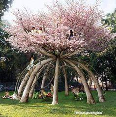 Os dez árvores de cerejeira foram plantadas a igual distância entre si sobre uma circunferência de 8 metros, com no centro uma torre de madeira temporária que servirá inicialmente como guia para a construção viva, através de uma série de cordas.