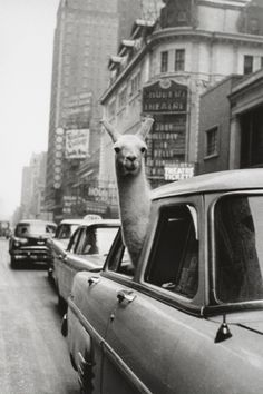 Llama in a car. This literally made me laugh out loud.