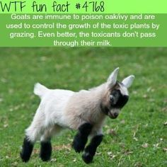 Goat facts - WTF fun facts by jannie