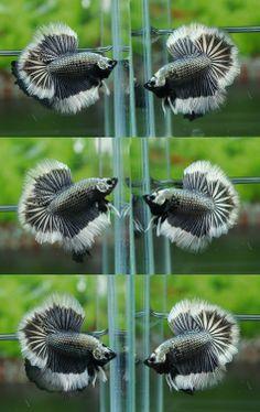 BLACK COPPER BUTTERFLY