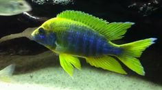 Find information about keeping the Lemon Jake Peacock Cichlid or Aulonocara jacobfreibergi (Undu Reef) in a home aquarium, including advice for feeding and breeding your Lemon Jake Peacock Cichlid. Tropical Freshwater Fish, Tropical Fish Aquarium, Freshwater Aquarium Fish, Aquarium Fish Tank, Fish Ocean, Cichlid Aquarium, Cichlid Fish, Discus, Beautiful Tropical Fish