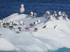 Birds on iceberg