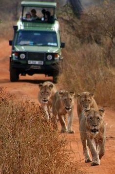 Parc national de Ruaha, Tanzania pour y voir des guepards, leopards, lions, elephants, antilopes
