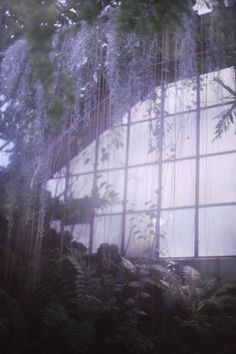 abandoned greenhouse, laveder wisteria, greenery, dreamy, dark, overgrown