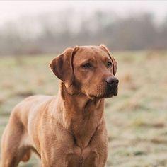 Fox Red Labrador Puppy, Labrador Retriever, Labrador Mix, Golden Labrador, Red Fox, Dog Breeds, Labradors, Double Tap, Real Family