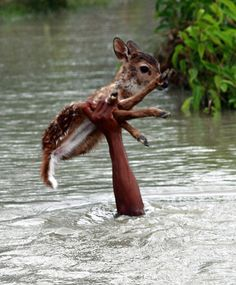 When a baby deer was separate from its family by a flooded river in Noakhali, Bangladesh, its chances for survival were slim. But Belal, a local boy believed to be in his early teens, braved the rainwater-swollen river to reunite the fawn with its family. As the photos show, the swift river waters were at times above the boy's head – all that was visible was his hand skillfully holding the baby deer by all four legs.