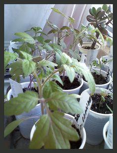 Reteta de pamant pentru tomate Plants, Tomato, Home And Garden, Landscape, Flowers, Ikebana, Growing, Garden, Homesteading