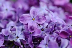 Lilac flowers background - Macro image of spring lilac violet flowers, floral background
