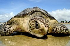 Turtle nesting on a beach in Sergipe, Brazil.