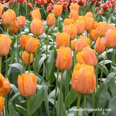 Top quality Daydream Tulip Darwin Hybrid Tulip covered by our Grow Guarantee! Spring Plants, Spring Bulbs, Knockout Roses, Sea Holly, Best Perennials, Anniversary Flowers, Tulip Bulbs, Growing Roses, Hybrid Tea Roses