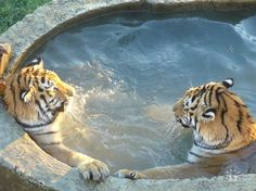 Tigers chilling in a hot tub.
