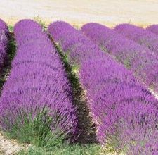 How to Take a Cutting From Lavender   eHow