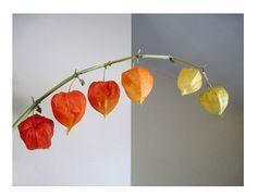Chinese Lantern Plant Stem, Fine Art Photography, Home & Living, Autumnal, Peaceful, Modern Minimalist Still Life, FREE SHIPPING USA