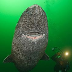A diver swims alongside a Greenland shark, a rarely-seen species that looks like it has been etched from stone. They can survive for more than 200 years at depths of up to 600 metres under Arctic ice. They grow to 23-feet long and are so fearsome they have even been known to eat polar bears