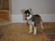 miniature alaskan klee kai, it's like a mini husky!