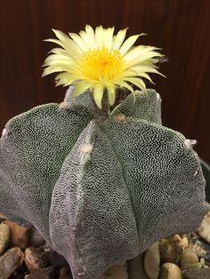Astophytum myriostigma