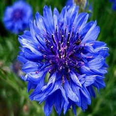 100+ Bachelor Button Blue Cornflower Seeds ,Under The Sun Seeds