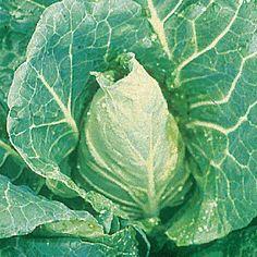 Cabbage Seeds - Duncan