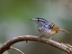 cantador-estriado_Hypocnemis striata_Brazilian Birds