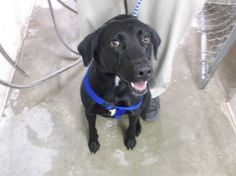 ***SUPER SUPER URGENT!!!*** - PLEASE SAVE ME!! - EU DATE: 3/20/2015 -- 3466 Breed:Labrador Retriever Age: Young adult Gender: Female Size: Large Special needs: altered, Special needs: hasShots, Special needs: housebroken, Shelter Information: Lamar Animal Shelter 8551 Rd EE.5  Lamar, CO Shelter dog ID: 3466 Contacts: Phone: 719-336-8769 Name: Officer Davis email: lpdshelter@hotmail.com About 3466: This sweet girl is only two years old and unfortunately her former owner is moving and cannot keep her.  Read more at http://www.dogsindanger.com/dog/1426432524332#RVSIk105LjkjWtE5.99