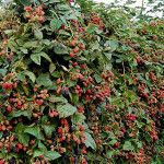 Doyle Thornless Blackberrys - One plant produces up to 20 gallons of berries!