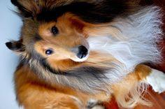 """""""Lochie"""" the Shetland Sheepdog"""