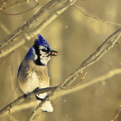 Bluejay Print/ Nature Photography/ Dark Blue Gold/ Rustic Decor/ Bird Art/ White…