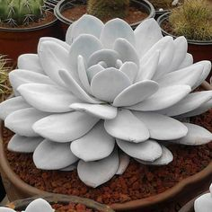Echeveria laui  Such incredible pristine beauty!