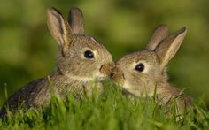 Baby Hares