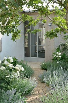 Walkout to a fragrant garden. White Floribunda roses, lavender drifts, cat's mint in the shade of a California pepper tree.