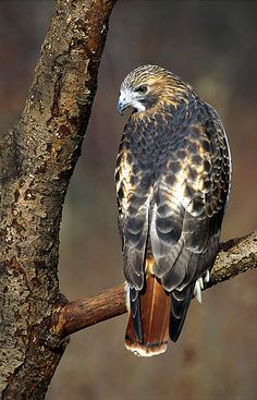 Red-tailed hawk (Buteo jamaicensis) from Alaska and Canada, south to Panama and…