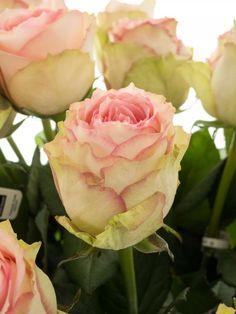 Esperance Rosen und grüne Nelken   Rosen im glas, Tisch