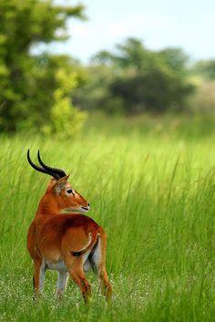 worldlyanimals: Kob Antelope, Benin (Jonas Van de Voorde)