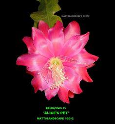 MEDIUM - Epiphyllum hybrid 'Alices Pet'