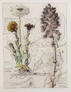 Daisy Family Botanical Print, 1910, by Harriet Isabel Adams (1863-1952)