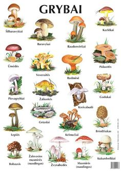 Know your mushrooms/grybai, Lithuanian mushroom chart Lithuanian Recipes, Lithuanian Food, Lithuania Travel, Medicinal Herbs, Stuffed Mushrooms, Cooking Recipes, Mushroom Identification, Mushroom Species, Mushroom Drawing