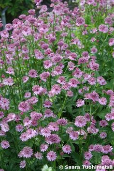 Landscape Gardeners Are Like Outside Decorators! Astrantia Major, Forest Flowers, Backyard Patio, Garden Planning, Garden Plants, Perennials, Different Colors, Outdoor Gardens, Beautiful Flowers